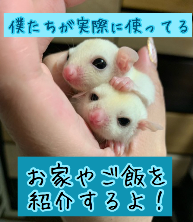 飼育 フクロモモンガ